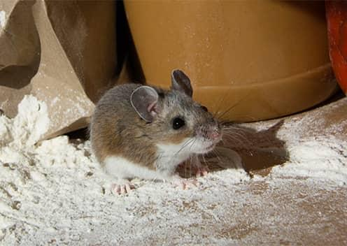a mouse crawling through flour in a kitchen in laurel maryland