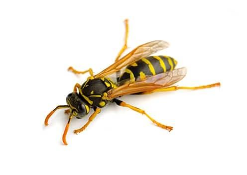 a paper wasp in charlottesville virginia