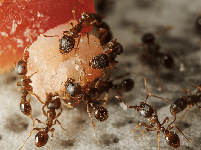 ants eating a piece of fruit