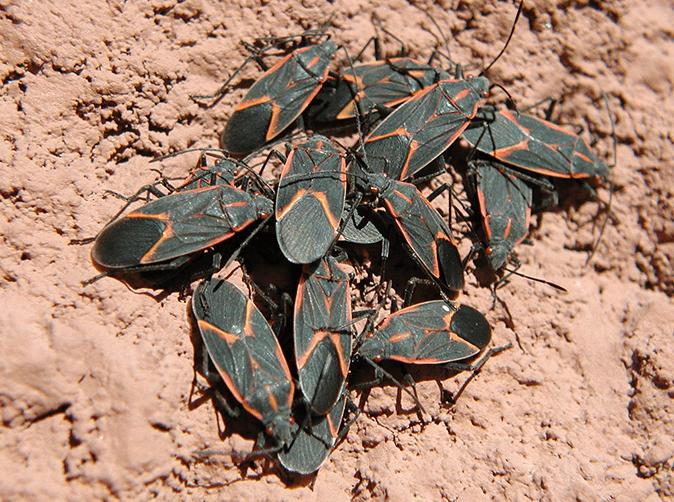 cluster of box elder bugs