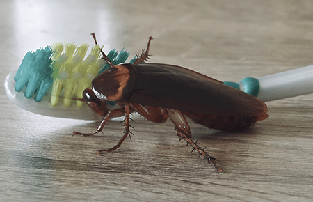 american cockroach on maryland kitchen counter