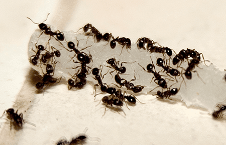 ants on a maryland kitchen floor