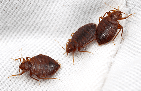 bed bugs on a white sheet in virginia home