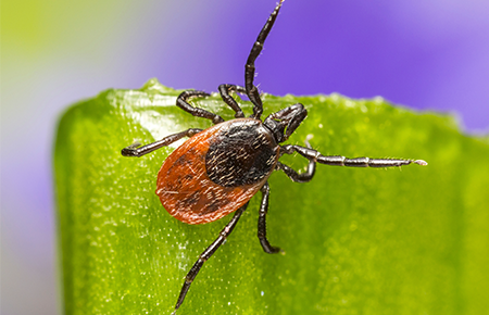 tick on a blade of grass outside va home
