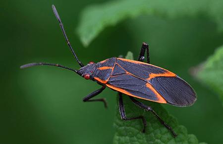 box elder bug on a leaf outside dc home