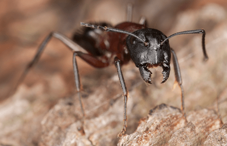 carpenter ant outside virginia home