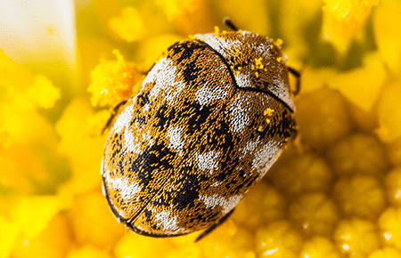 carpet beetle on a flower in washington dc home