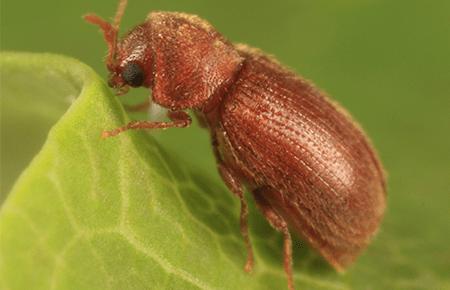 cigarette beetle on a leaf outside dc home