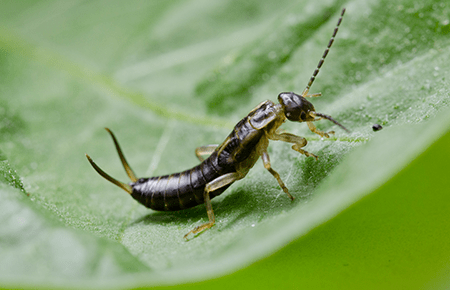 earwig on a leaf outside balitmore home