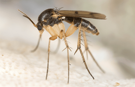fungus gnat in a washington dc home