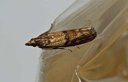 indian meal moth in northern virginia home