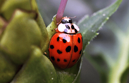 ladybird beetle infestation in a washington dc home
