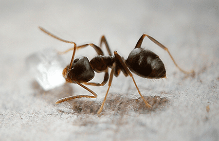 odorous house ant on kitchen floor