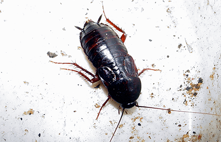 oriental cockroach on a dirty plate in maryland homes sink