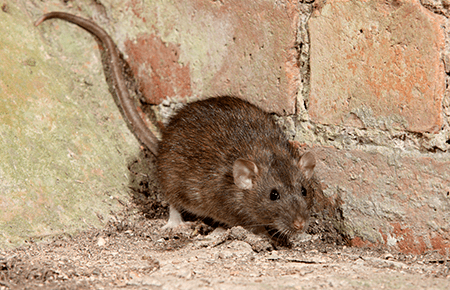 rat outside washington dc home looking for food