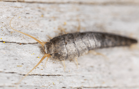 washington dc home with a silverfish problem