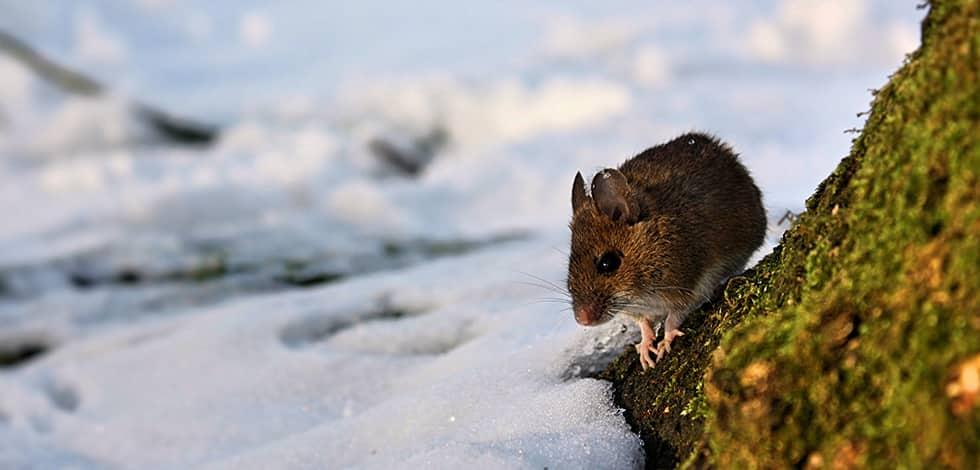 mouse in maryland looking for shelter during winter