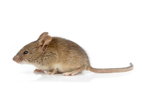 what a rodent looks like