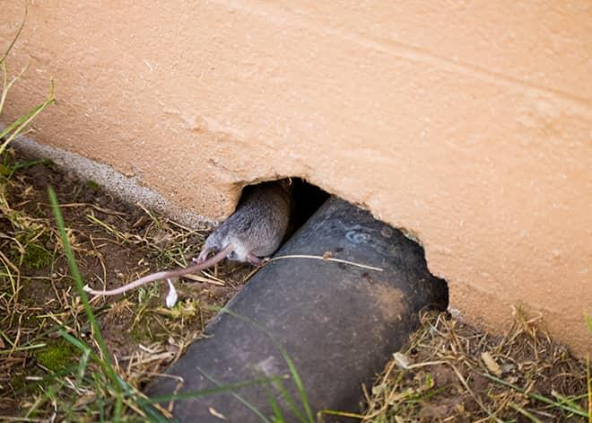 a mouse entering a home thorough a opening by a pipe in ilchester maryland