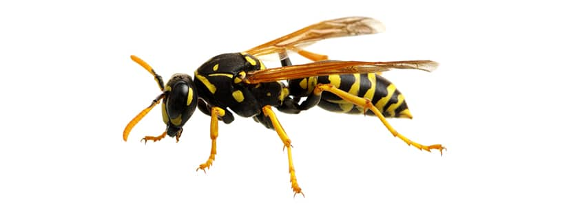 a wasp in bowie maryland