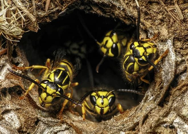many yellow jackets in a ground nest in stafford virginia