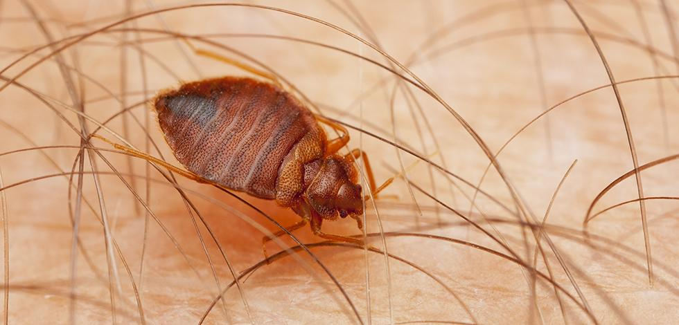 a bed bug crawling on a persons arm in catonsville maryland
