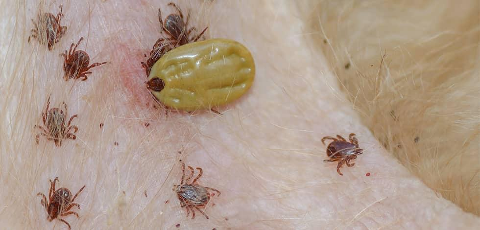 ticks crawling on a maryland resident