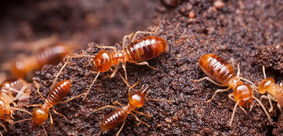 Why Termites Thrive In Maryland Virginia And Washington D C