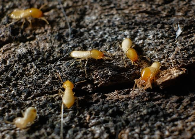 termites found near maryland home