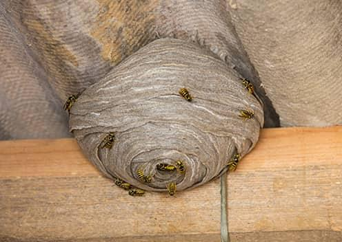 a hornet nest in the attic of a home in aspen hill maryland