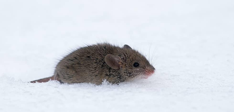 a mouse crawling through snow in hanover maryland