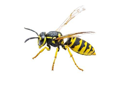 a yellow jacket wasp in essex maryland
