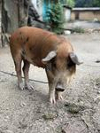 Pigs on leashes, dogs running free
