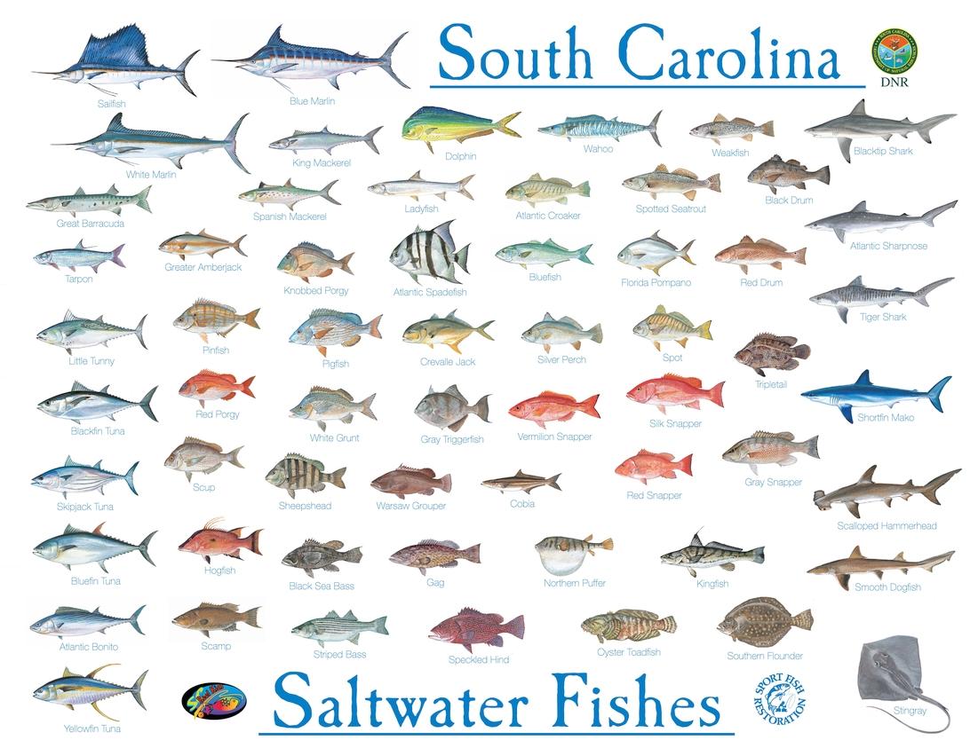 SCDNR salt water fish poster.