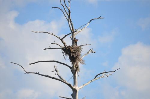 Osprey nest (Credit: Todd Betlem)
