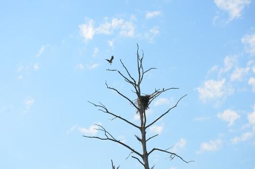 Osprey (Credit: Todd Betlem)