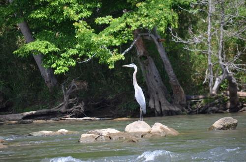 Blue Haron on the Catawba River May 2017 (Credit: Todd Betlem)
