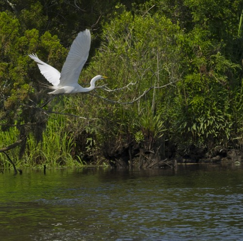 Egret in flight, Ashley River (Credit: SC Department of Natural Resources)