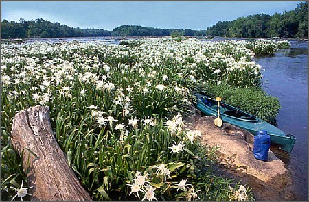 Rocky Shoals Spider Lilies at Landsford Canal State Park (Credit: South Carolina Department of Parks, Recreation & Tourism)