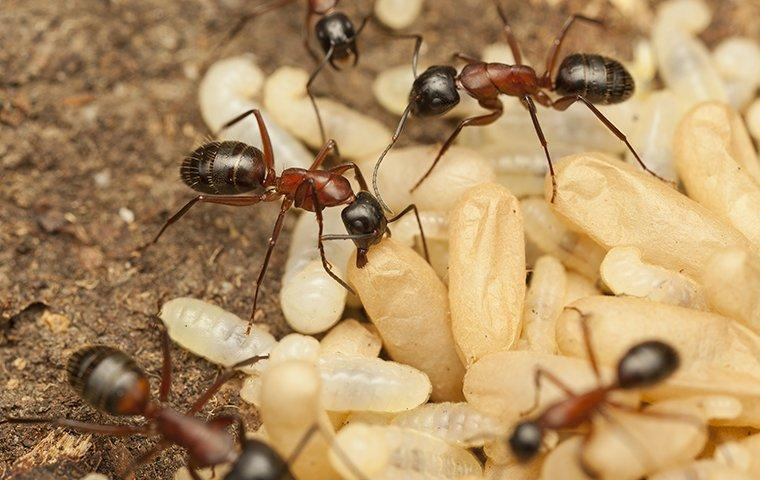 several ants moving their eggs