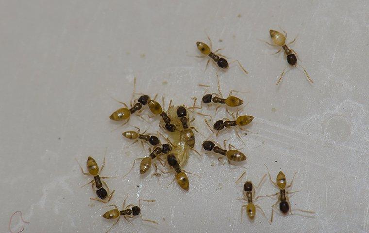 dozens of ants on a kitchen floor