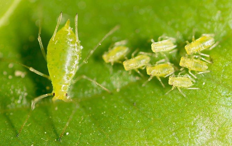 a group of aphids gathered on a leaf