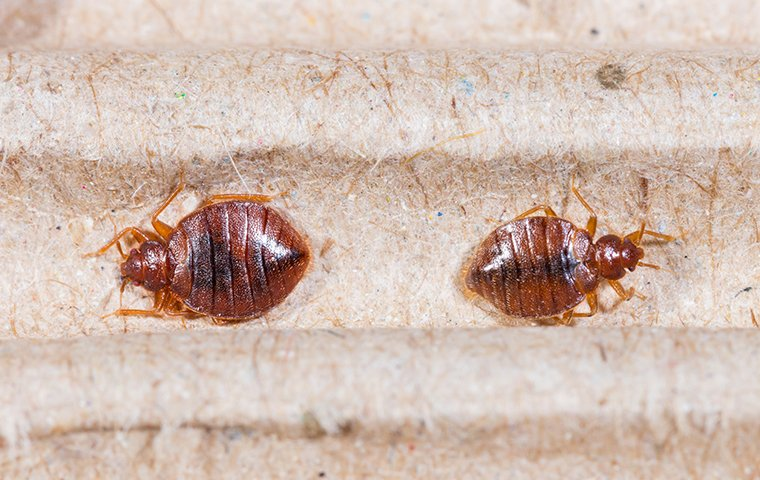 a bed bug crawling on a mattress