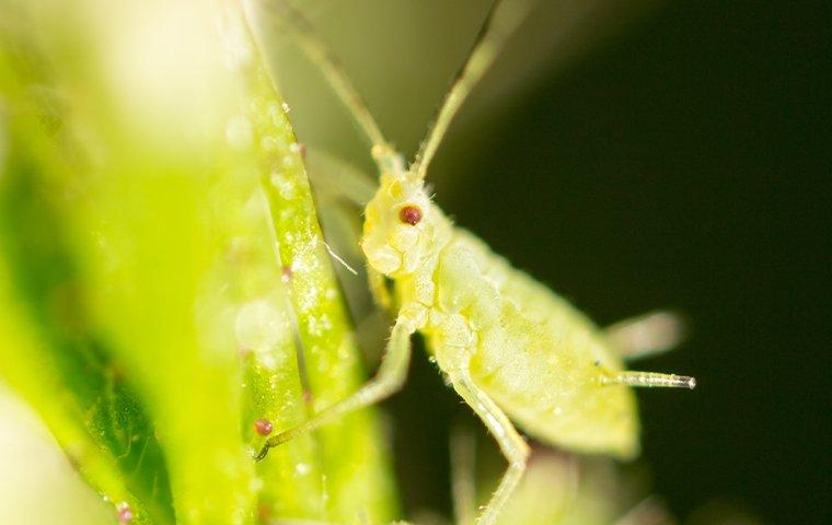 an aphid crawling on leaves in a garden