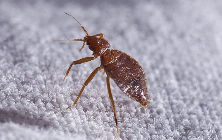 a bed bug crawling on sheets