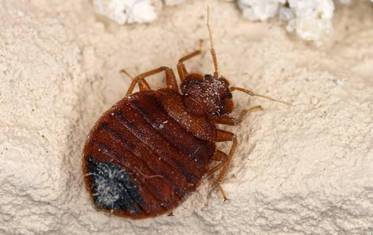 an up close image of a bed bug on furniture