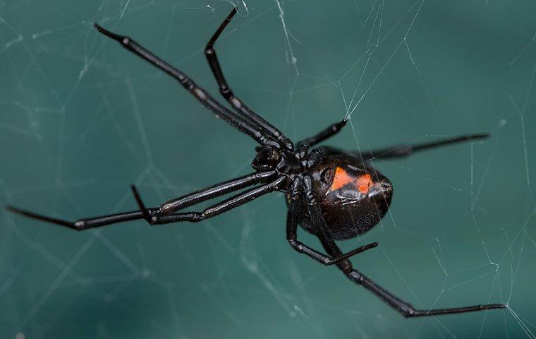 a black widow spider on her web
