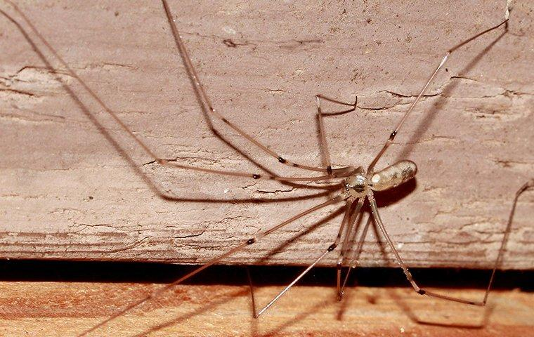 a cellar spider crawling in a basement