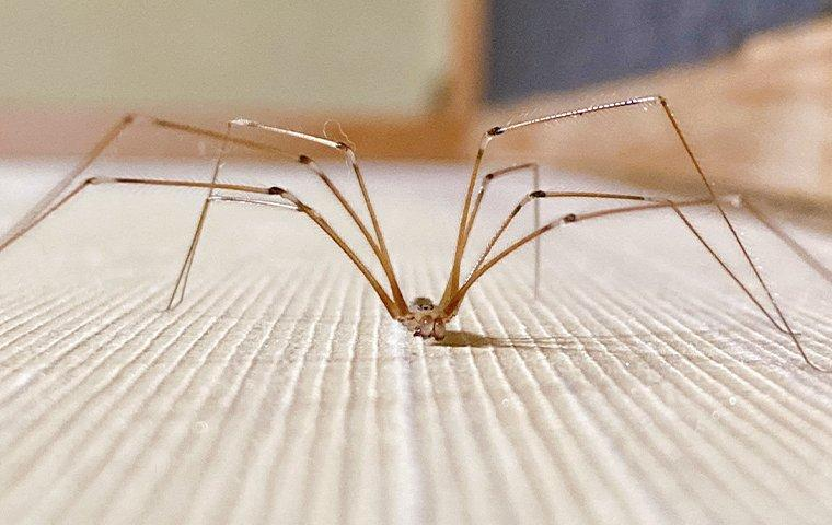 a cellar spider crawling on a living roon floor