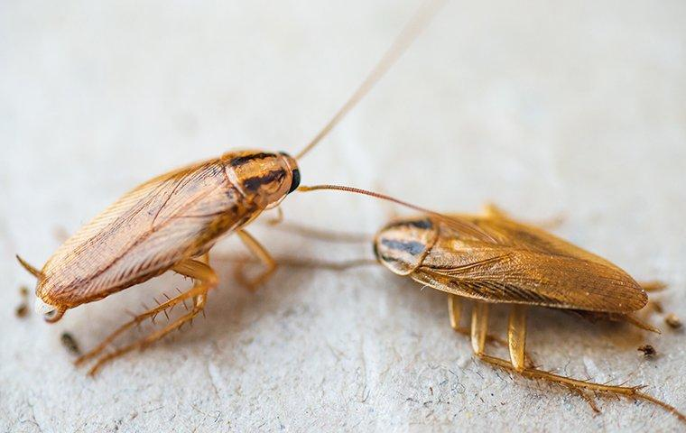 two cockroaches crawling on a kitchen counter